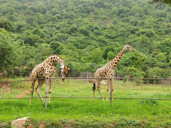 Indira Gandhi Zoological Park, Vizag: Best Zoo In India